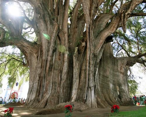 højeste træ i verden